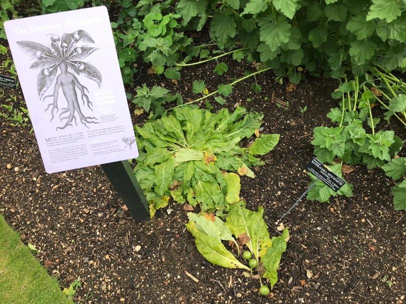 Mandrake plant in the walled garden of Oxford Botanic Garden